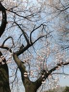 Cherry Blossoms tree Background