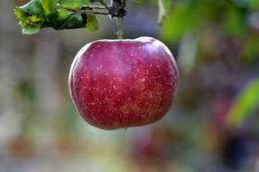 Apple Fruit Trees red