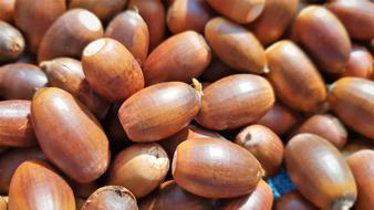 macro photo of brown acorns