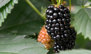 macro photo of ripe blackberries on a branch